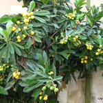 mespila - or loquats - growing in Cyprus