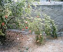 pomegranates ripen during the Autumn in Cyprus