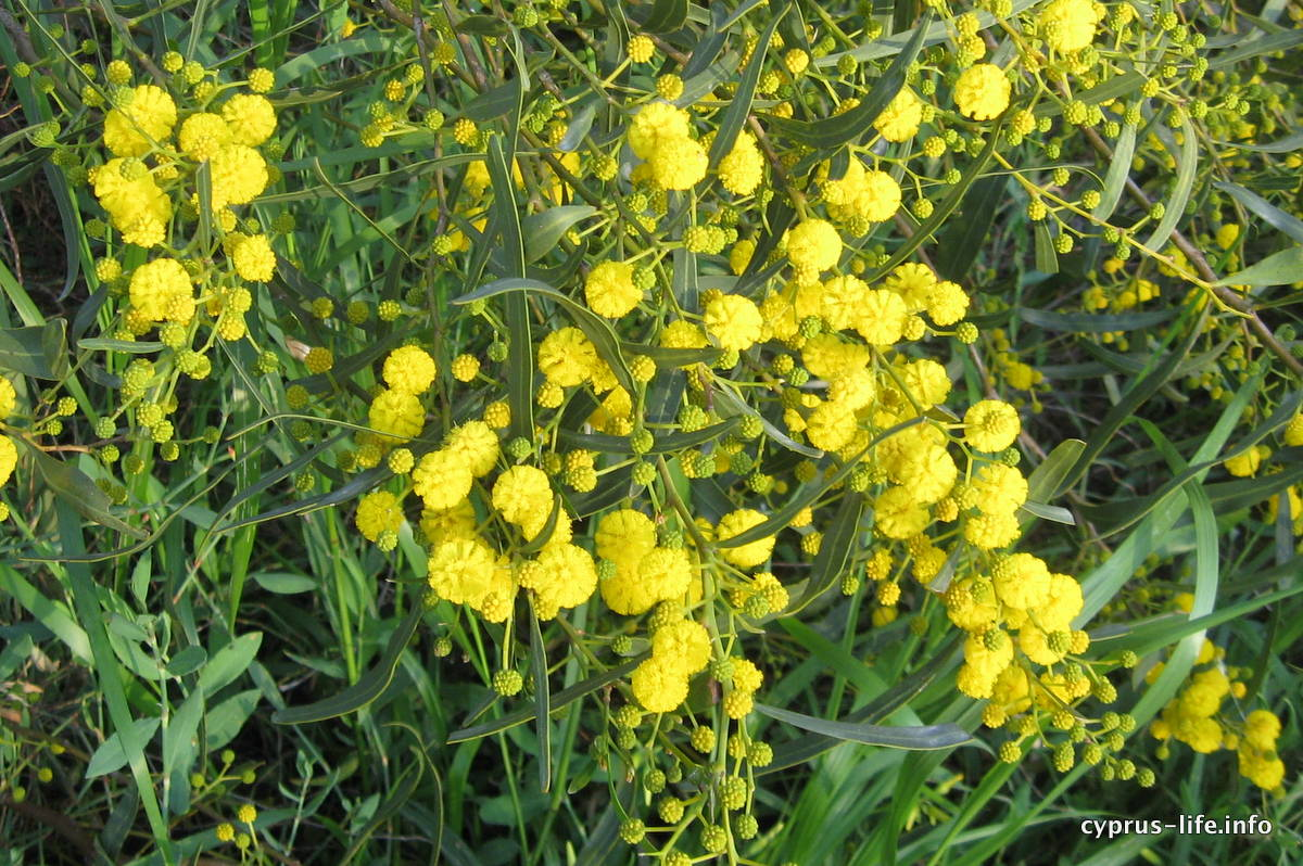 Yellow flowers in Cyprus in spring